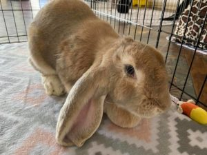 Fawn-colored English lop rabbit Hazel