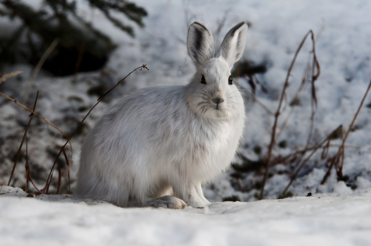 snowshoe-hare-1100831 1920